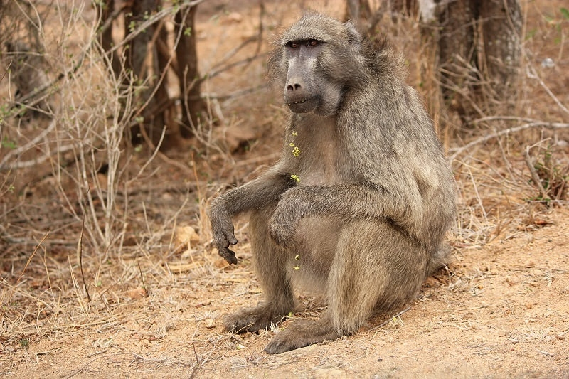Baboon who is Preparing decorations