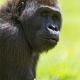 Young-gorilla
