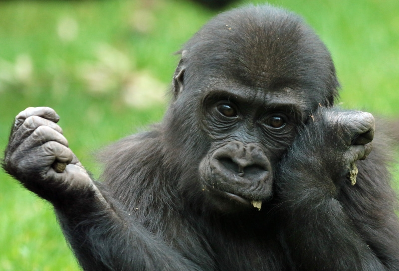 A young Gorilla looking a little sad