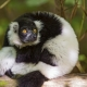A ruffed lemur in a quite nice position!