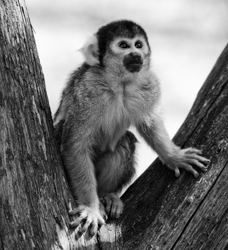 Black-capped Squirrel Monkey at London Zoo