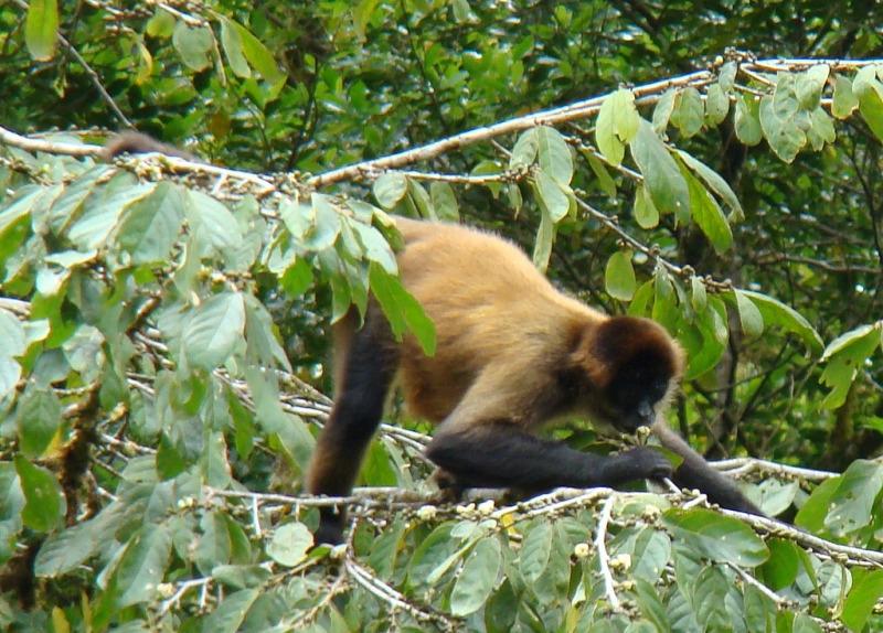 Spider Monkey in Monte Verde