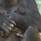 8-Days-old-gorilla-baby