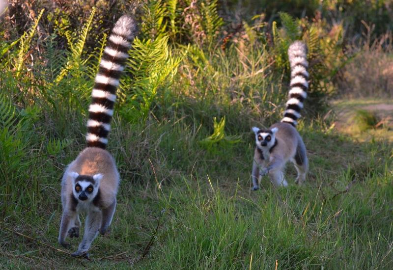 Running Ring-tails Lemurs