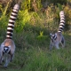 Running Ring-tails Lemurs