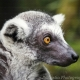 A very attentive Ring-Tailed Lemur