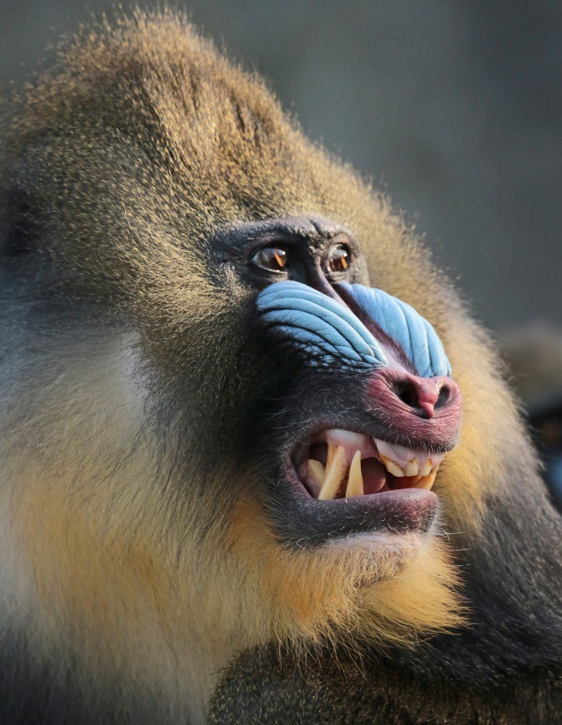 The face of a Mandrill