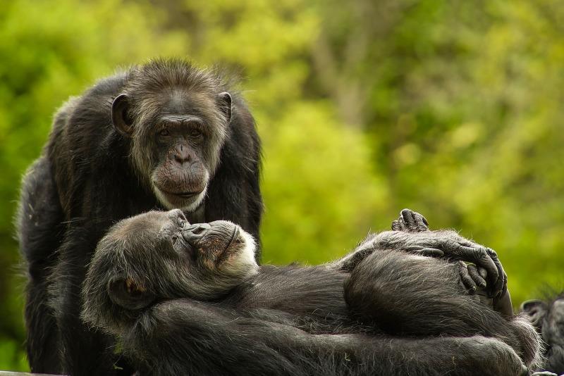 Fancy a Chimpanzee kiss