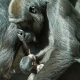 Gorilla-binti-met-bembosi-artis