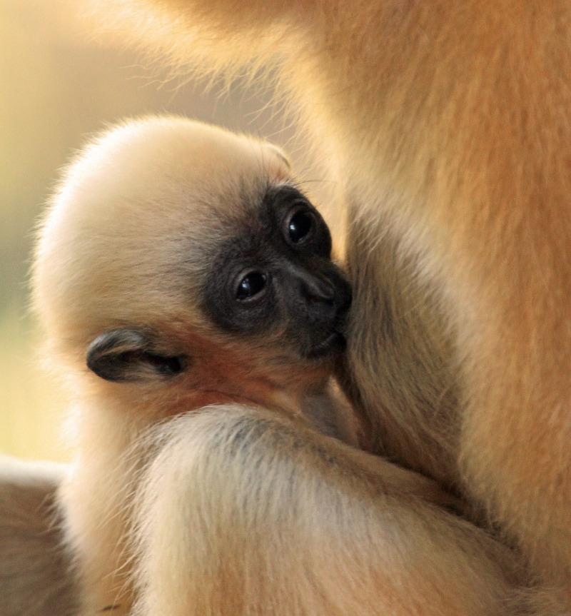 Suckling Gibbon time
