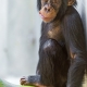 Cute-young-chimpanzee