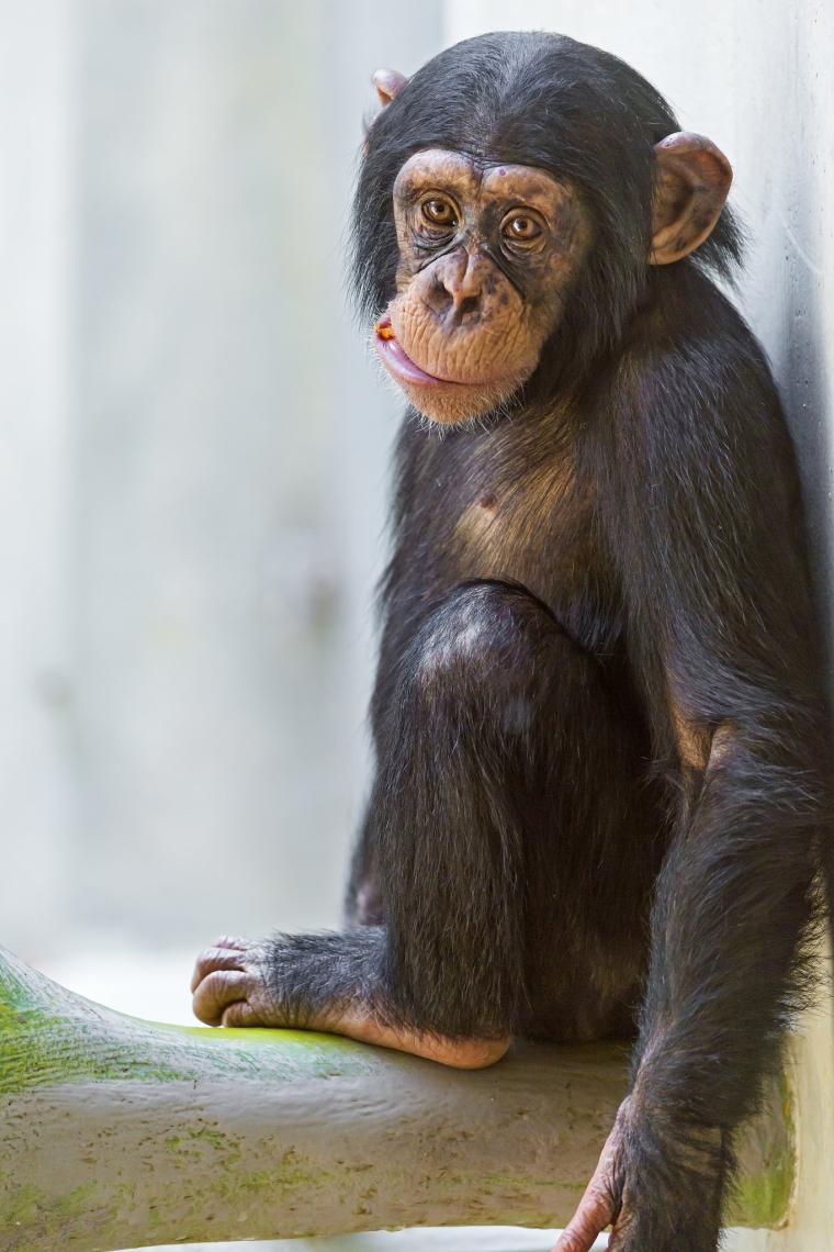 Cute-young-chimpanzee