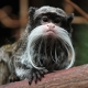 A very sophisticated looking Tamarin monkey