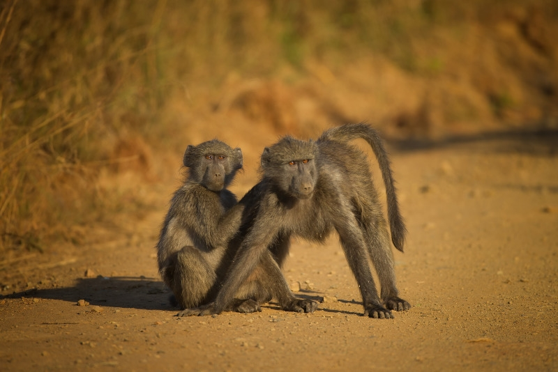 Two Baboons on the road