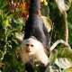 White-faced-Capuchin-1