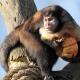 Capuchin monkey with some big fruit