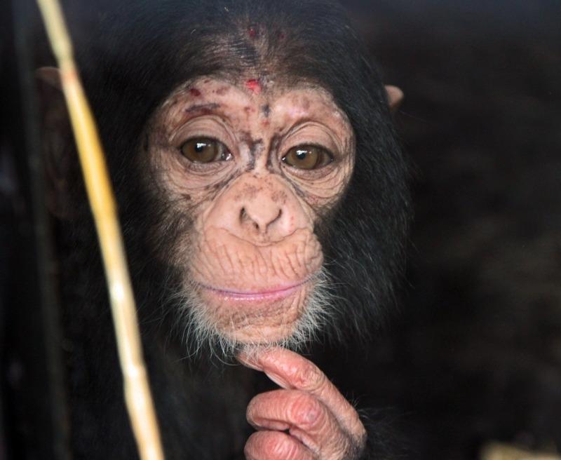 A very thoughful Chimpanzee