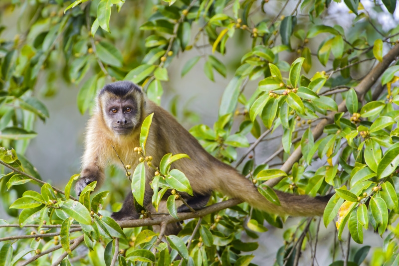 Capuchin monkey in the tree with a human face