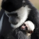 The tender love of a monkey and baby