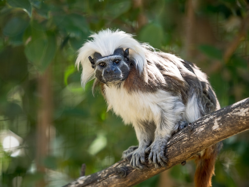 Cotton-top Tamarin at Zoo Lagos in Portugal