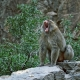 Barbary Macaque howling from his rock