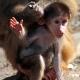 Small baby Baboon waving