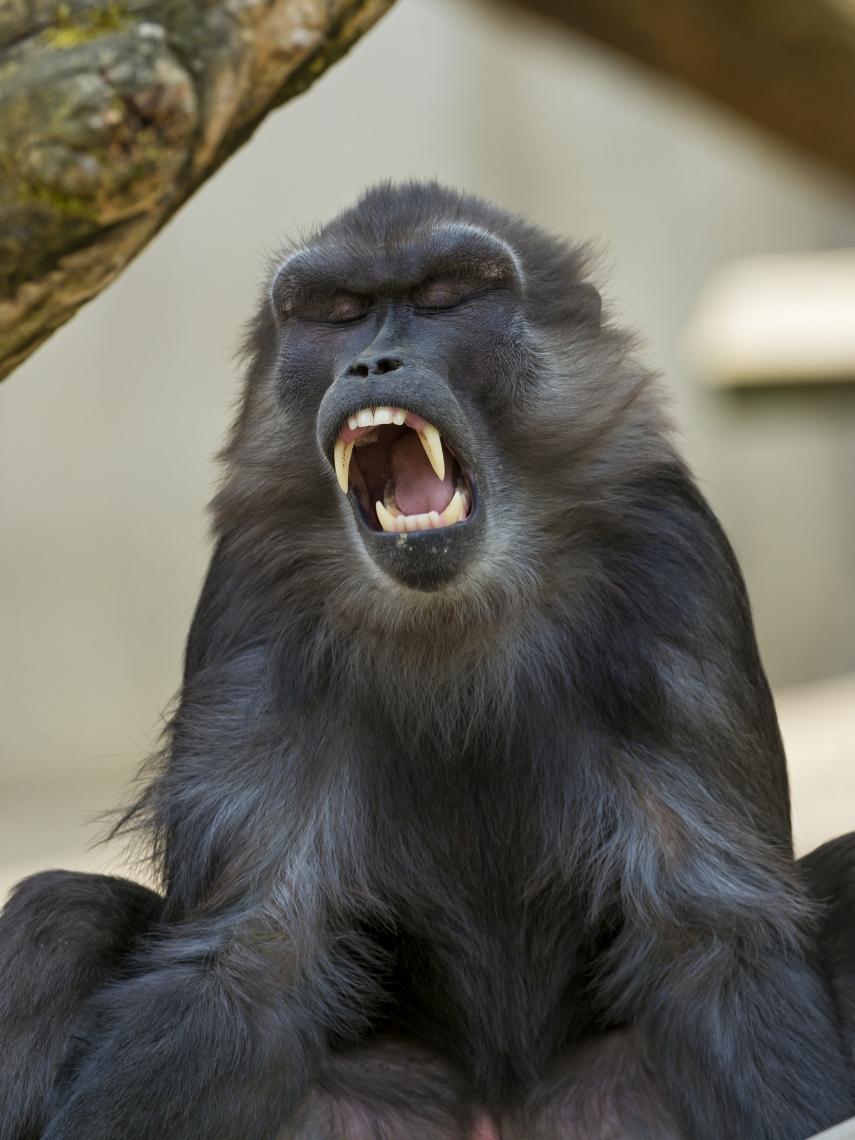 Tonkean-macaque
