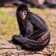 One of the spider monkeys in the Prague zoo, sitting on a log.