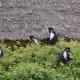 Colobus-group-feeding