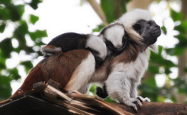 Cotton-Top-Tamarin-And-Her-Babies