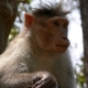 Bonnet-Macaque-India-2