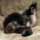 J.J.  Lowland Gorilla  at Zoo Miami