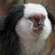 A very white faced Tamarin monkey