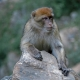 Algerian Barbary Macaque clutching a rock