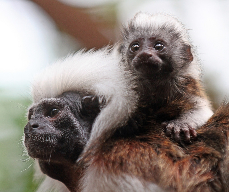 Two cotton top Tamarin monkeys