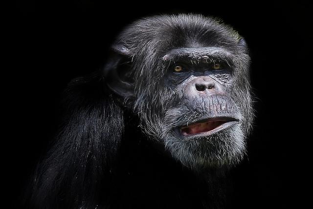 Chimpanzee-9