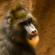 Jungle-Park-Mandrill