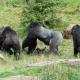 Gorillas-Jambo-grijpt-in-Apenheul