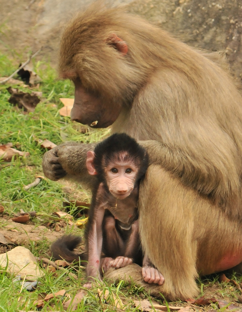 Baby Baboon and Mum sit and rest