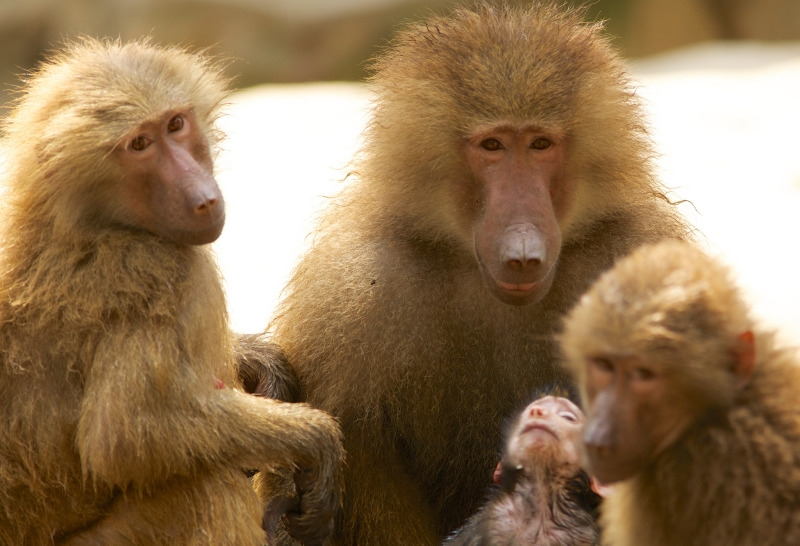 Baboon family in Singapore zoo