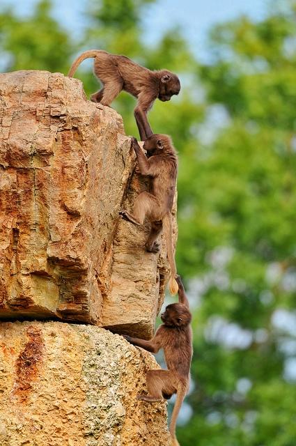 Young-baboons-playing-II-1