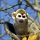 Squirrel Monkey in the Lake District in the UK