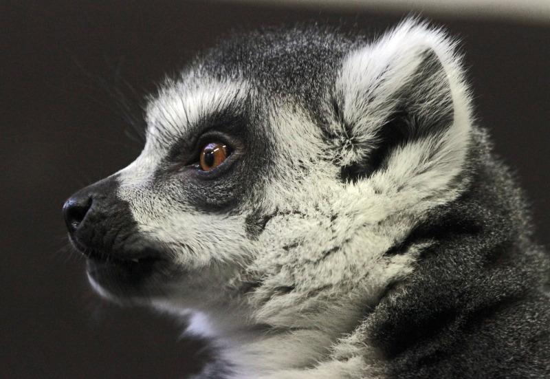 Side Profile of a cute Lemur