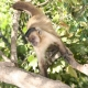 Capuchin monkey in a Brazilian tree