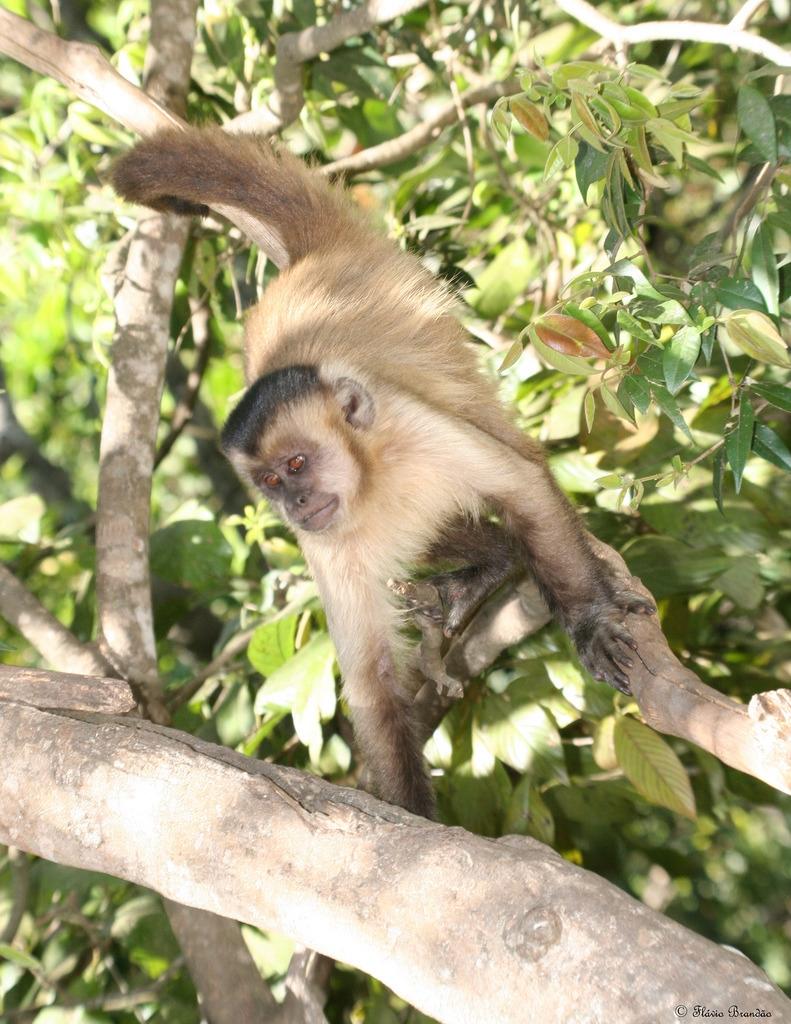 Capuchin monkey in a Brazilian tree