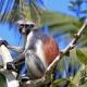 Zanzibar red colobus monkey  in 2009