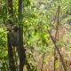 Shy Velvet monkey in a tree