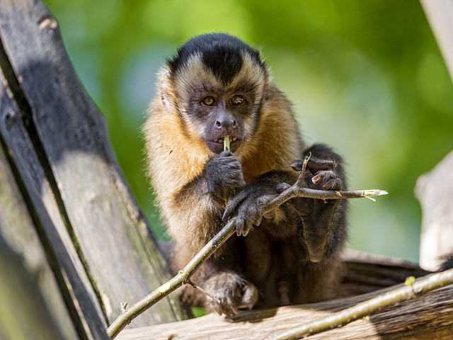 Funny-capuchin-on-the-tree-1