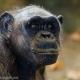 Chimpanzee-in-Barcelona