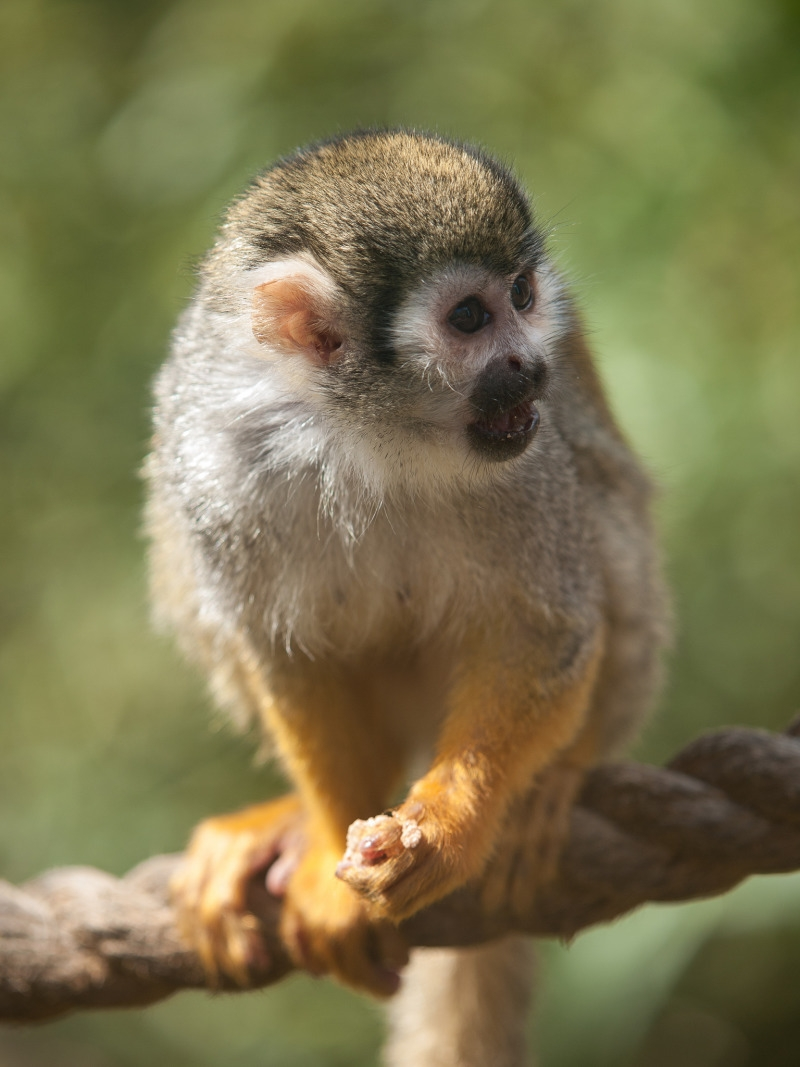 Squirrel monkey at Colchester Zoo